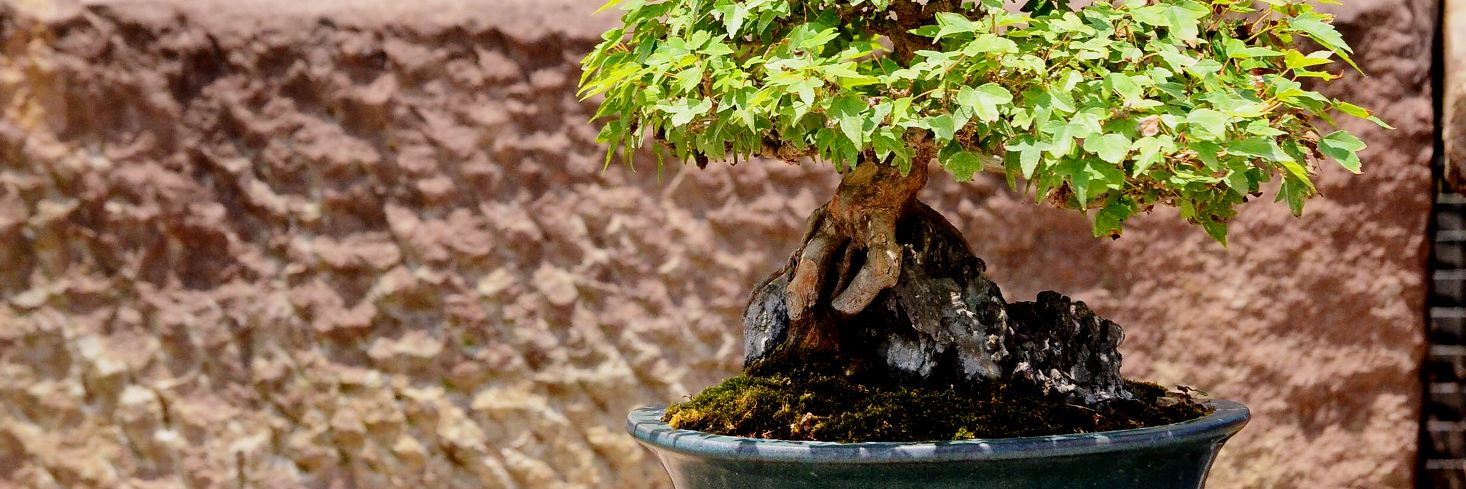 comprar-bonsai-escuela-bonsai-online