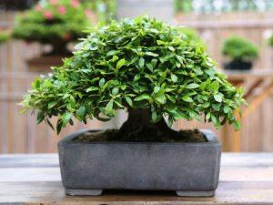 bonsai de azalea en maceta sin esmaltar