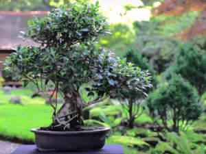 Compra ficus bonsai barato