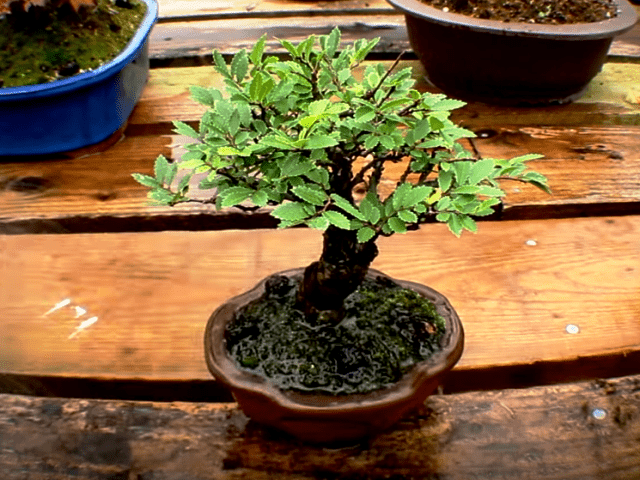 olmo chino bonsai comprar