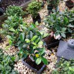 comprar bonsai de ficus escuela de bonsai online