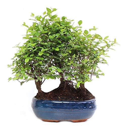 comprar sageretai bonsai