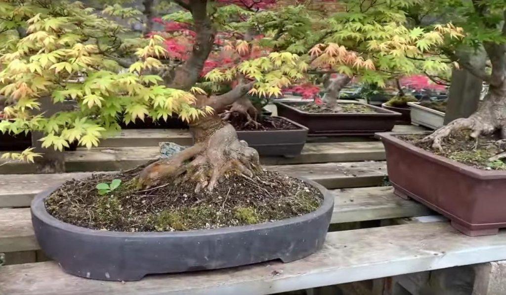 bonsais colocados sobre un estante de madera